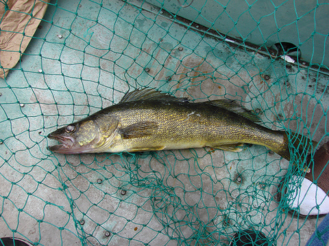 Zander ein begehrter Zielfisch der Angler