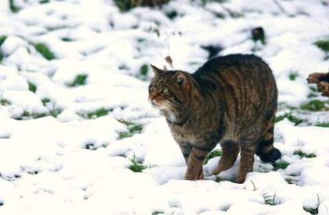 Wildkatze hat Beute im Auge