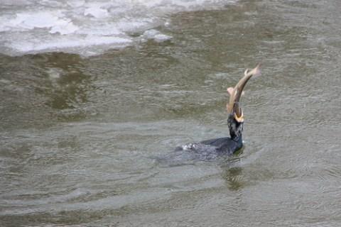 Ein Kormoran ist in der Lage auch große Fische (bis zu 50 cm) zu verschlingen