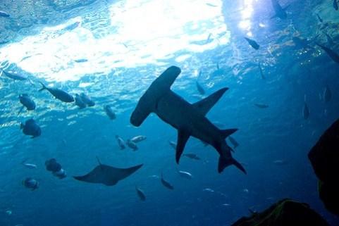 Riesen-Hammerhai auf der Jagd