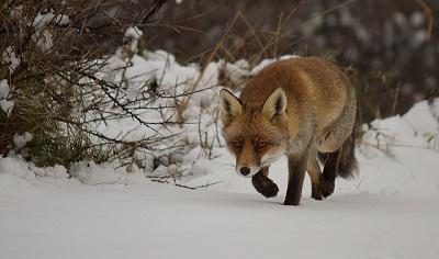 Der Fuchs hört angespannt Geräusche von Mäusen unter der Schneedecke.