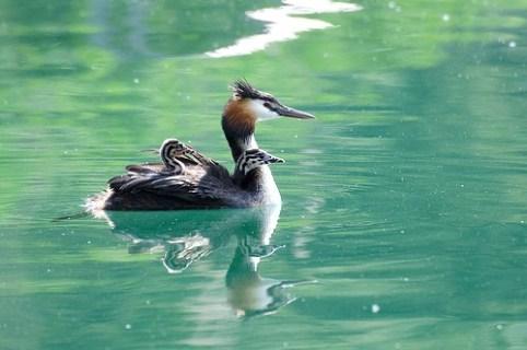 Haubentaucher-Küken lassen sich im Rückengefieder eines Altvogels spazieren schwimmen