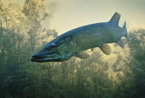Der Hecht ist immer bereit für einen Angriff auf Beutefische.