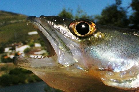 Top-Köderfische für Zander sind Stinte, die extrem duften, wenn sie im Wasser auftauen.
