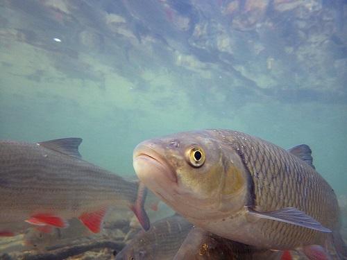 Aland Fisch