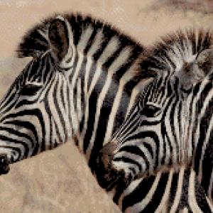 MyHobby borduurpakket - zebra's