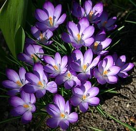 Blumenzwiebeln  Tulpen Narzissen Krokusse und andere