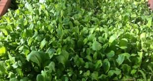 Cold Frame Greens