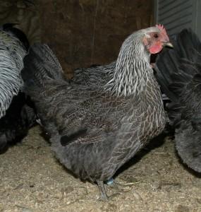 Silver Penciled Iowa Blue Hen