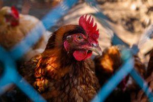 chickensfence