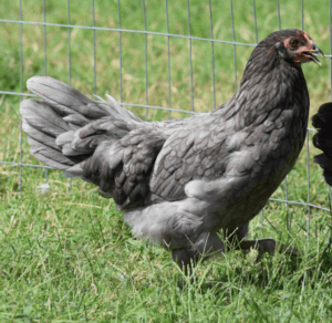 Blue Egg Laying Whiting True Blue Chicken Breed