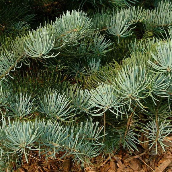 Buy Pacific White Fir Abies Concolor Lowiana 15 Seeds