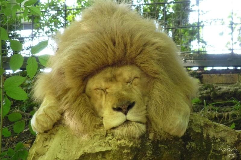 A fond, le lion