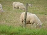 yay, fuzzy sheep