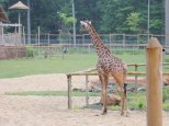 They have a giraffe paddock at this zoo