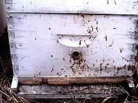 Biegunka pszczół-widoczne skutki nosemozy