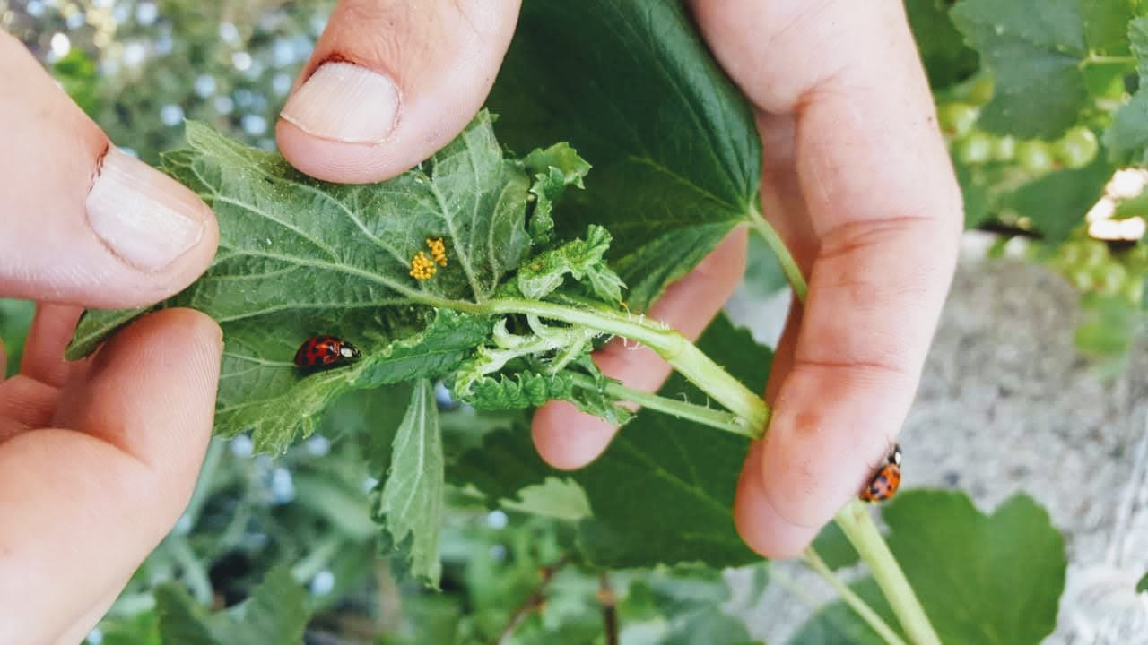 Super Marienkäfer im Garten – nützliche Glücksbringer - Timos Blog #ZD_55