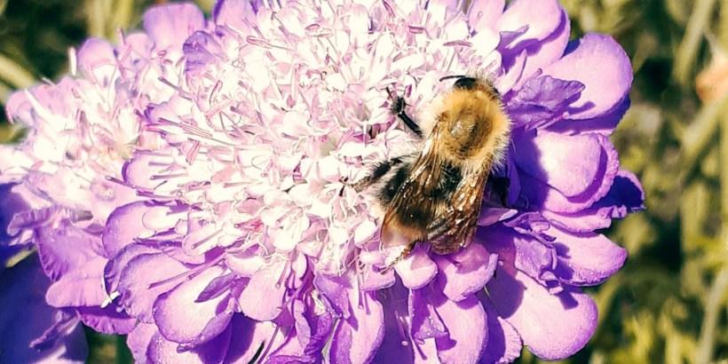 Wildbiene im Garten