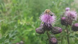 Biene beim Sammeln