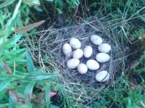 2012-07-09 En dit is haar nest!