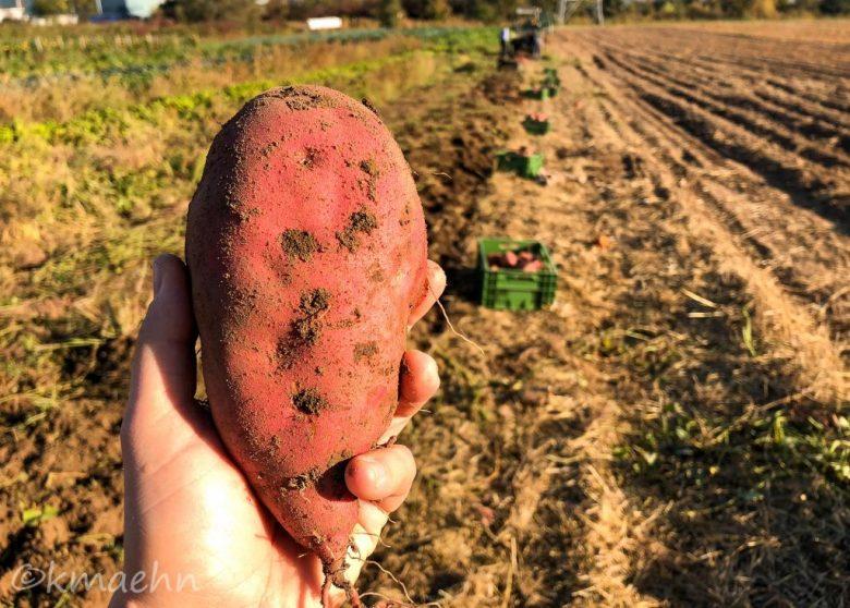 Suesskartoffeln Ernte