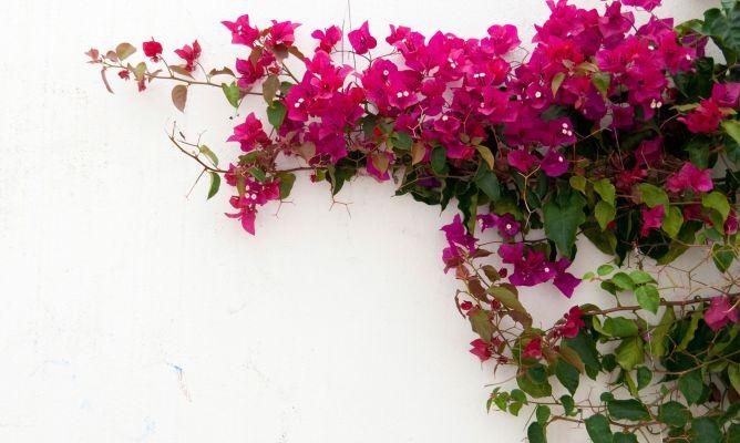 Plantas trepadoras con flor  Decogarden