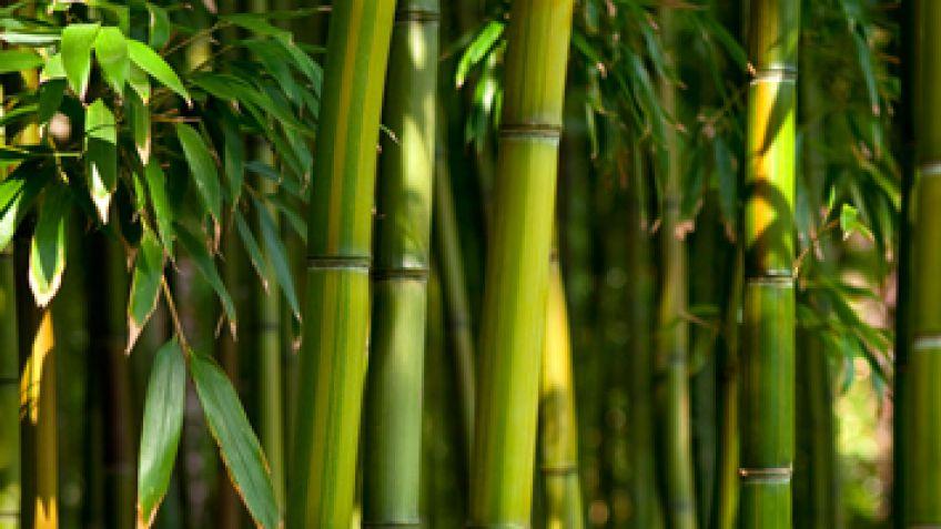 Bamb caractersticas y tipos de bambs