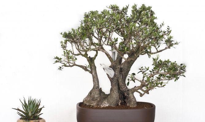 Resultado de imagen de bonsái de Olivo