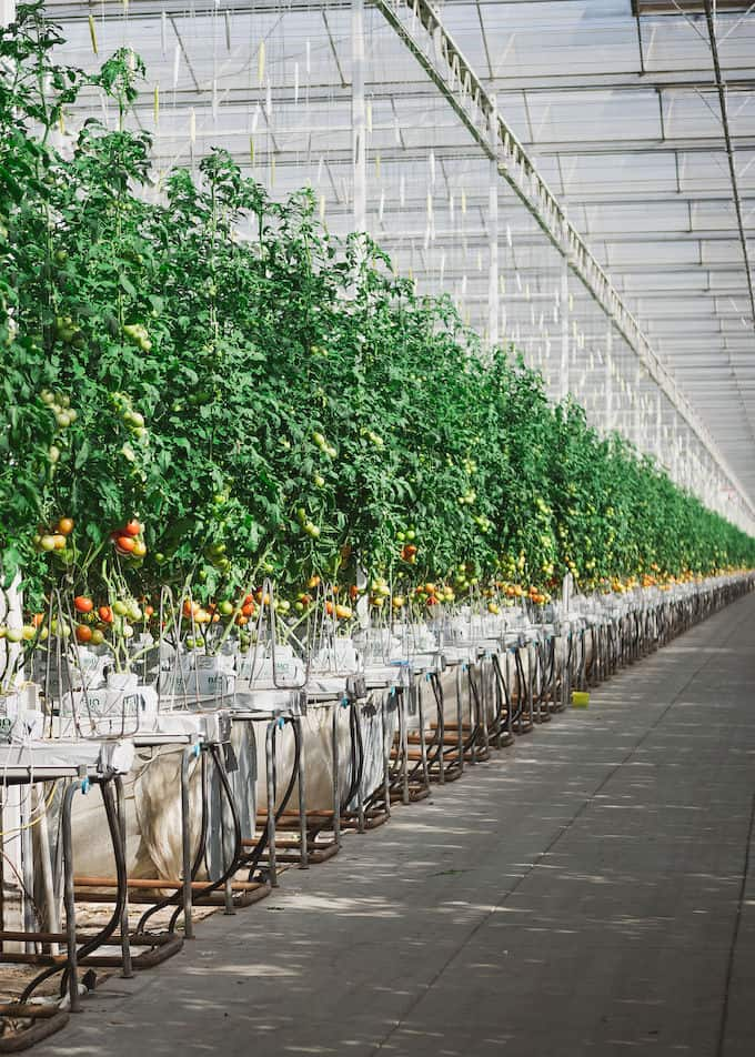 Hydroponic tomatoes growing at Houweling's Farm in Camarillo, CA. Tall tomato plants growing in a green house with white hydroponic bags and lots of hoses attached to each plant.
