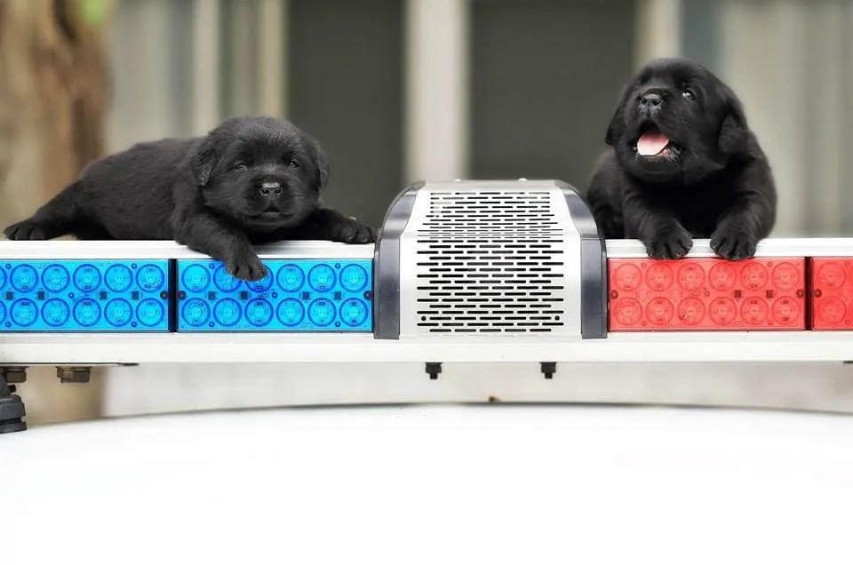 La patrulla canina de la policía de Taiwán