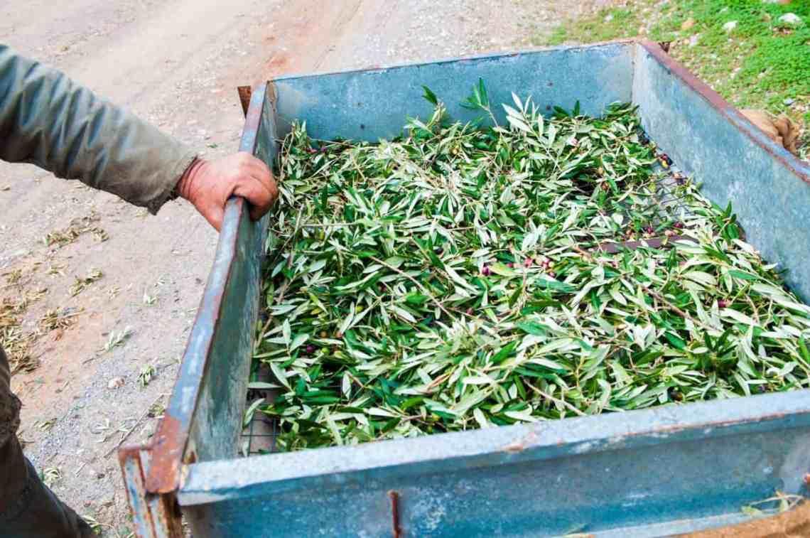 Olive Branch OIl