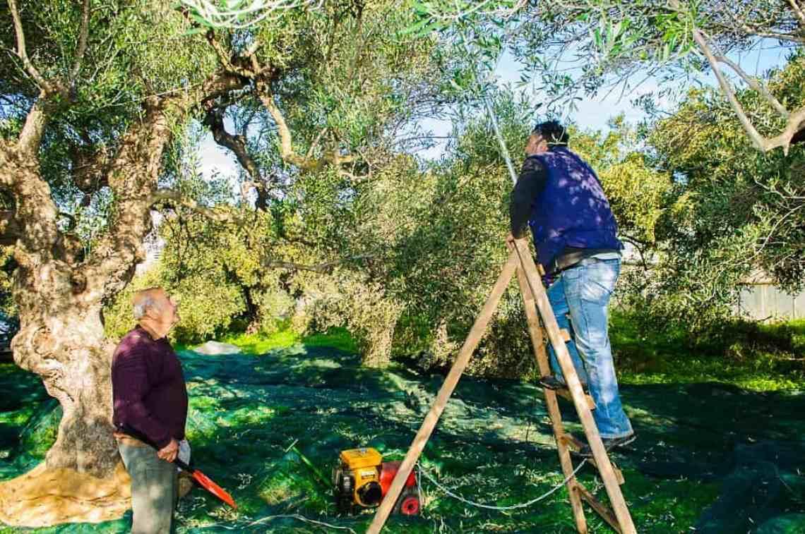 Olive Branch Olive OIl