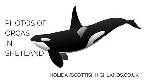 photos of orcas in scotland title image