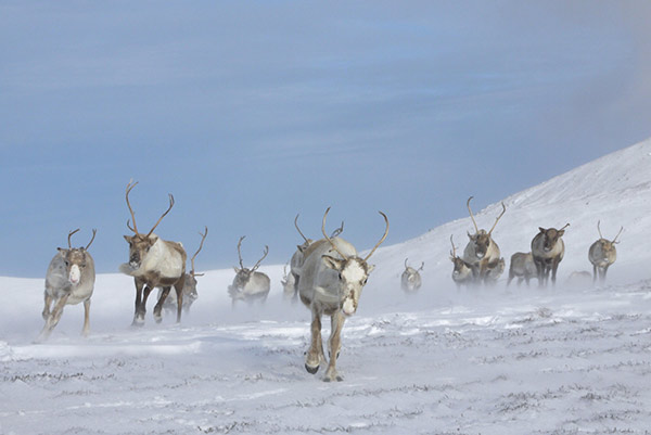 Reindeer running snow what to do Aviewmore