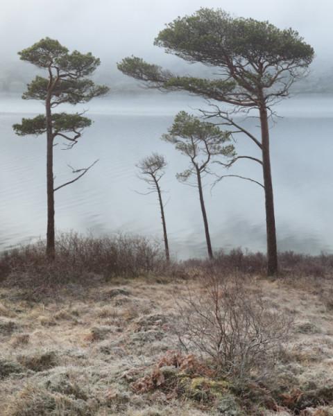 Pine family, Loch a Chroisg