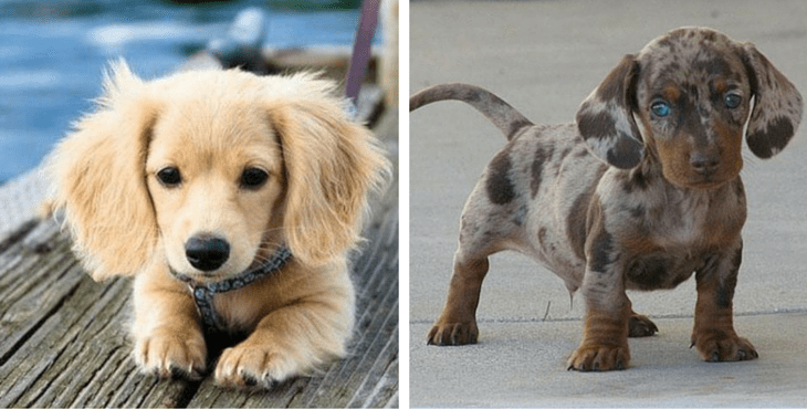 15 Awesome Dachshund Mixes You Wont Believe Are Real