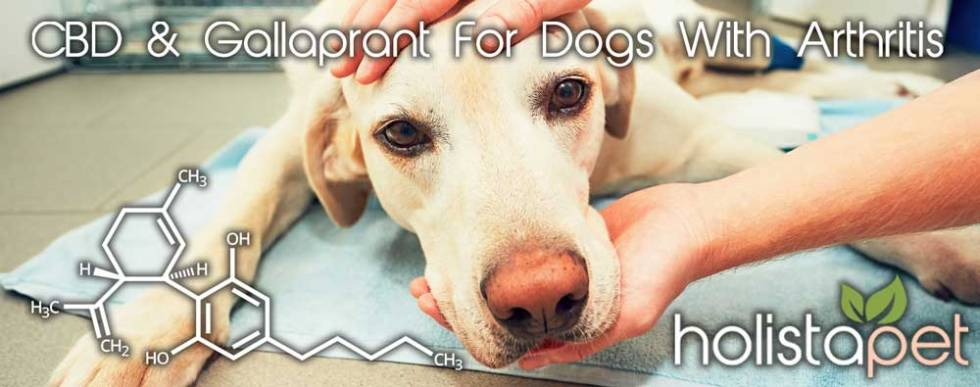 CBD and Galliprant for dogs with arthritis