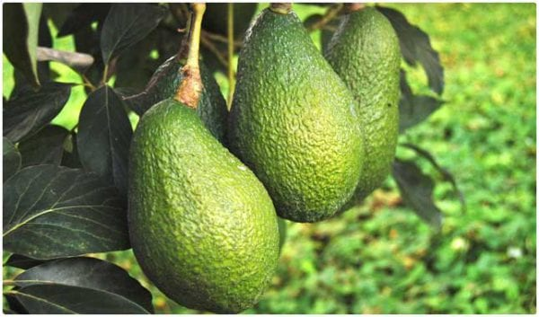 Why avocado is an amazing superfood
