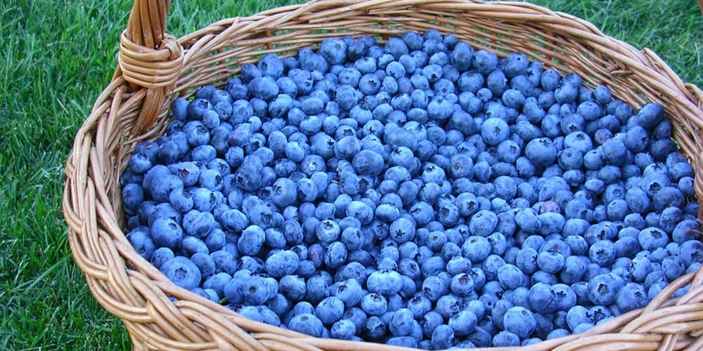 Eat blueberries to live a longer life