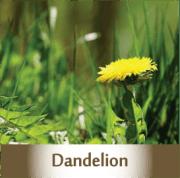 dandelion2