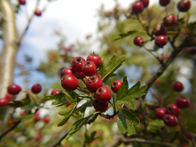 Hawthorn and Apple Ketchup