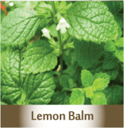 lemon-balm.png