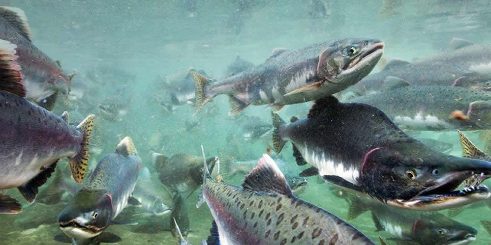 The huge environmental costs of salmon farms in South America