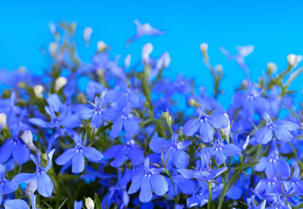 lobelia How to deal with severe pain the natural way
