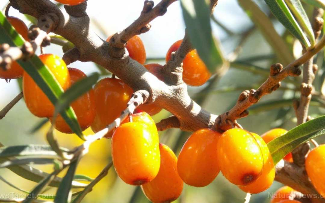 Sea buckthorn leaf and twig extracts found to have antioxidant and anticoagulant activities
