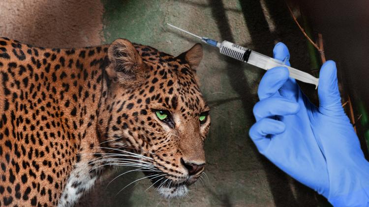 vaccinating animals