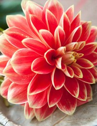 Dinnerplate Dahlias