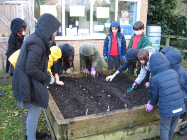Planting garlic and onions 4