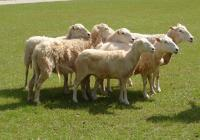 Taking Wool from Sheep to Shawl - Holy City Sinner