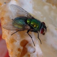 Fly on food